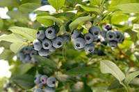 Mirtillo al centro di European Blueberry2018: in Trentino ricerca scientifica  all'avanguardia e un mercato in crescita
