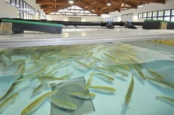 SUSHIN, un progetto per produrre nuovi mangimi sostenibili per i pesci da allevamento e salvare molte specie dall'estinzione